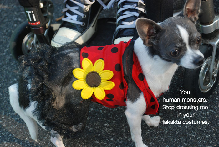 Mirdle the Chihuahua in a ladybug costume